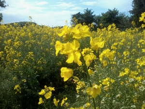 rapeseed & shepherd's-purse flowers(photo credit: Abigail Robinson)