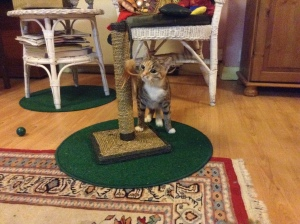 Willow investigating the scratching post (photo credit Abigail Robinson)