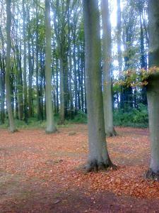 The Beech Allee at Hidcote Manor Garden - image 2 (photo credit SC Skillman)