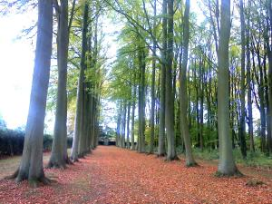The Beech Allee at Hidcote Manor Garden image 1 (photo credit SC Skillman)