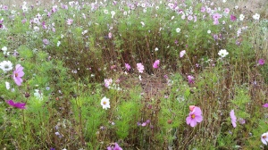 Wildflower meadow at Compton Verney