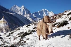 Yak_near_shrine_in_Nepal