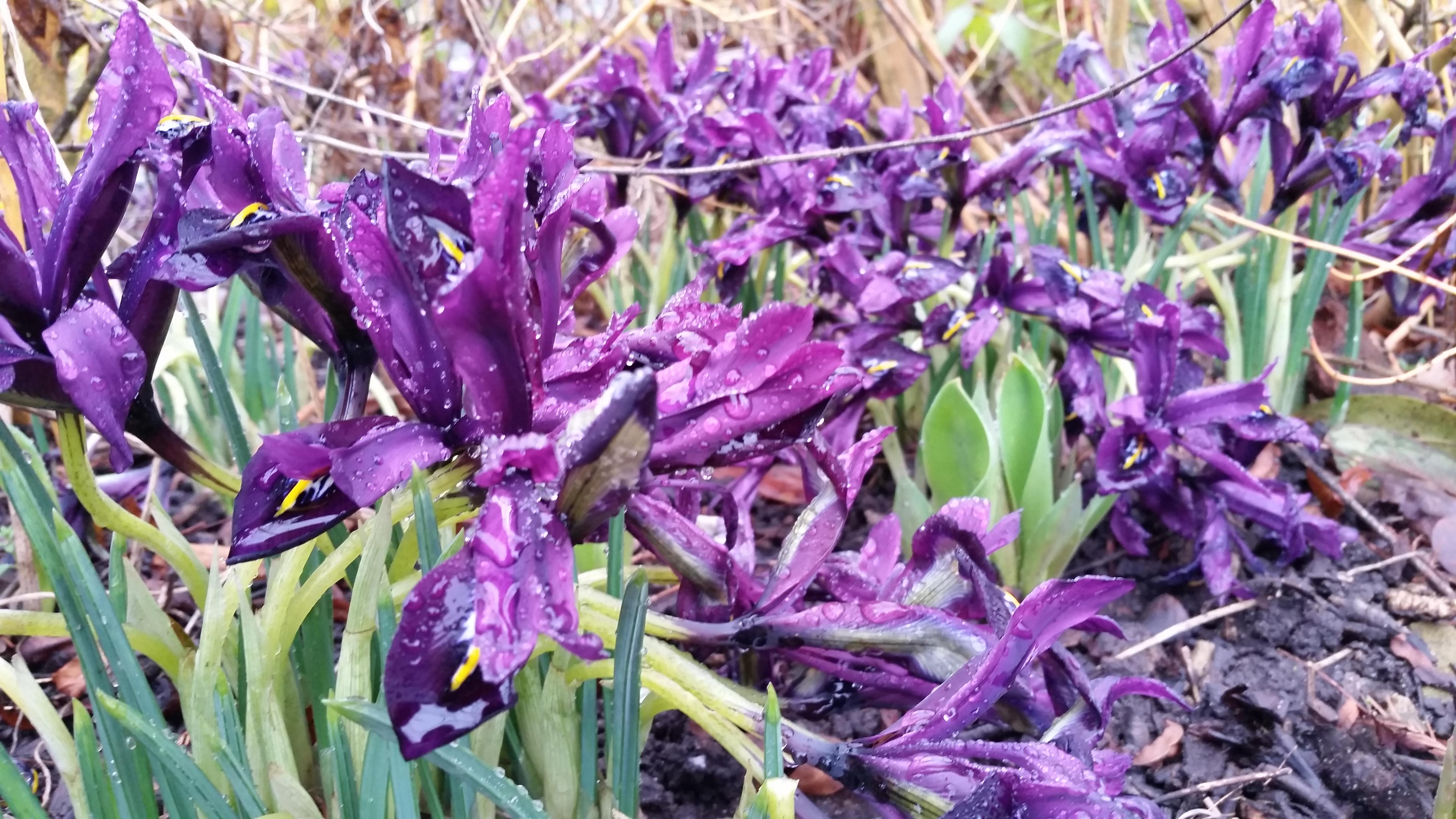 Purple irises at Dunham Massey, National Trust 19 Feb 2018