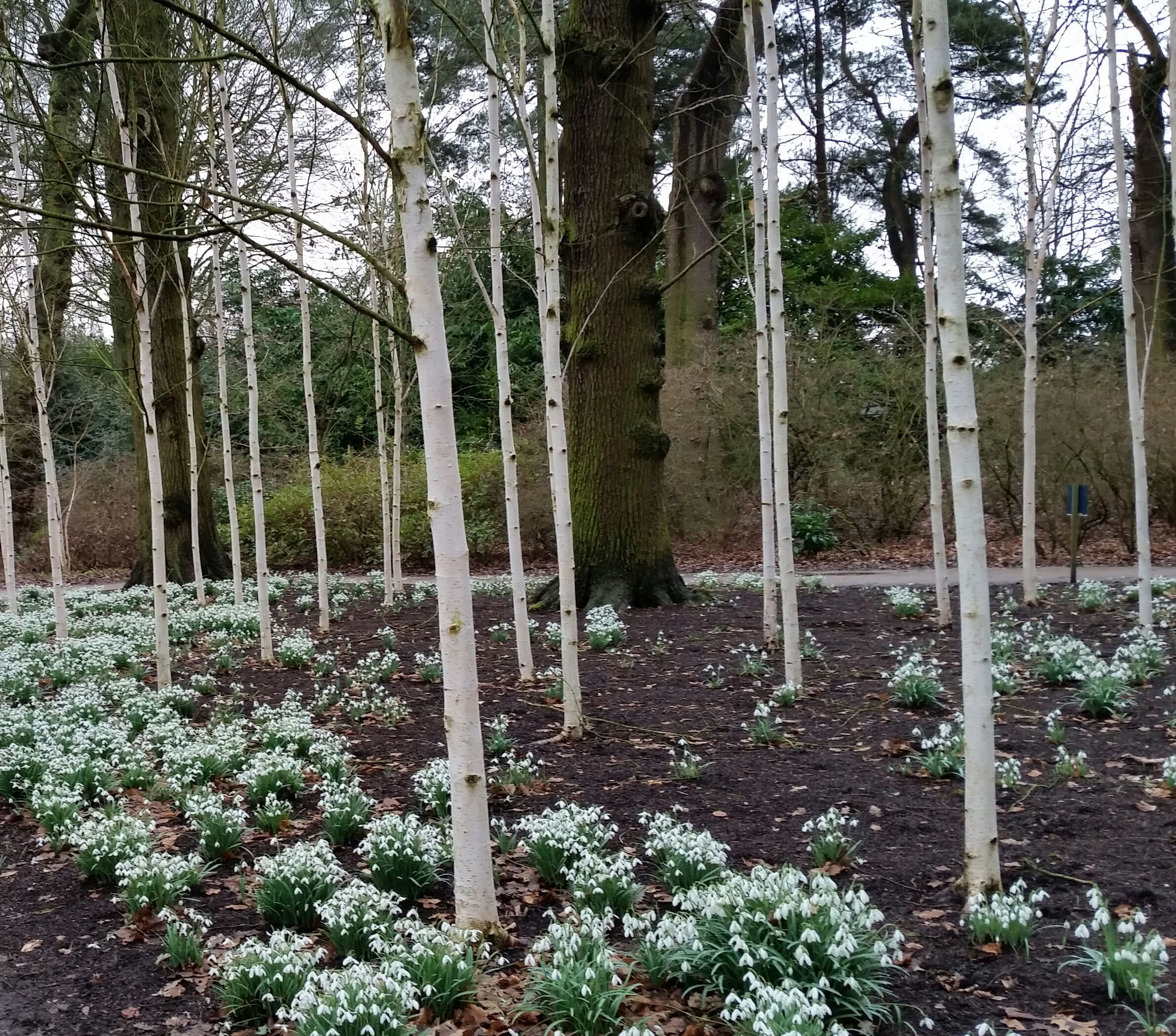 Snowdrops among birch trees at Dunham Massey, National Trust 19 Feb 2018