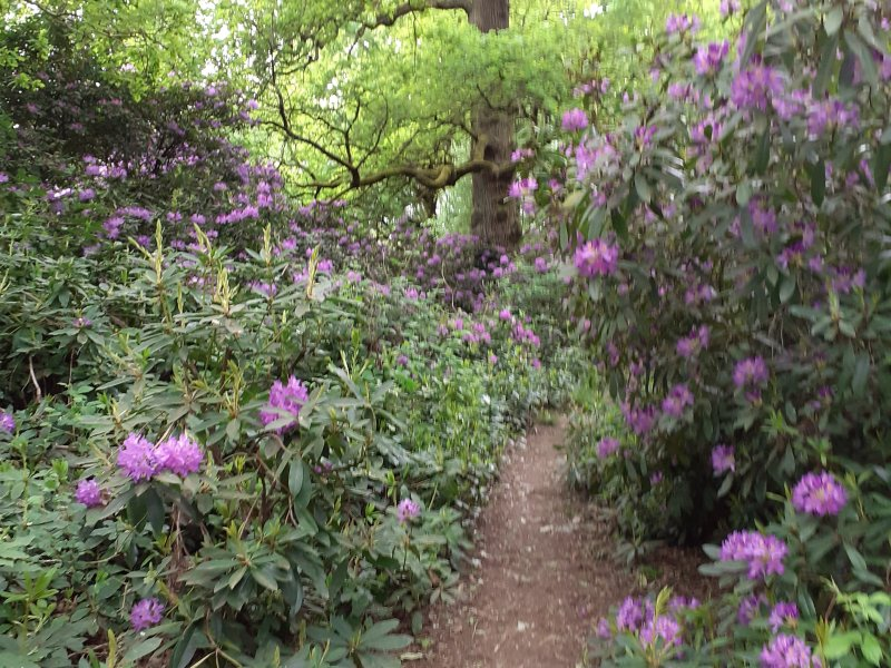 rhododendrums in woodland