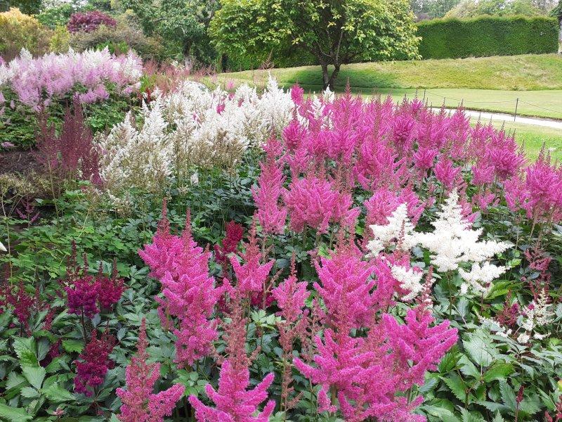 pink white feathery planting Lanhydrock Garden Cornwall SC Skillman